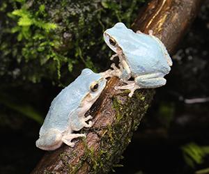 青色の「ニホンアマガエル」