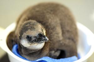 続々と誕生している「ケープペンギン」の赤ちゃんたち