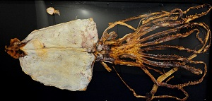 「京の海アカデミー」では京の海で漁獲されたダイオウイカの乾燥標本が登場