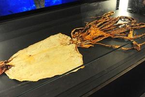 「京の海アカデミー」ダイオウイカの乾燥標本