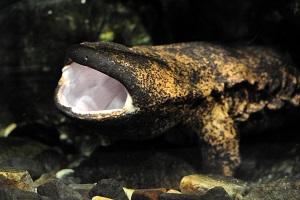 「京の川アカデミー」でオオサンショウウオの捕食シーンを見よう