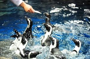 わいわいと賑やかなごはんの時間のペンギンたち